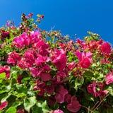 Bei fiori di rosa del cespuglio con il fondo del cielo blu Fotografia Stock