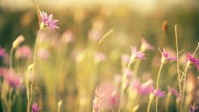 Bei fiori di rosa del prato su fondo soleggiato Fondo di tema di estate archivi video