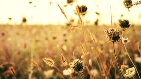 Bei fiori di rosa del prato sul fondo di tramonto Fondo di tema di autunno archivi video