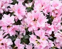 Bei fiori di rosa della molla Fotografia Stock Libera da Diritti