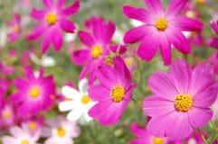 Bei fiori di segnalatore acustico dentellare Immagini Stock Libere da Diritti