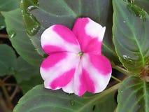Bei fiori di Verry in Sri Lanka Immagini Stock