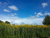 Bei fiori e cielo blu gialli del topinambur Immagine Stock