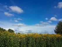 Bei fiori e cielo blu gialli del topinambur Fotografie Stock Libere da Diritti