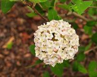 Bei fiori e foglie verdi bianchi e rosa di viburno Immagini Stock Libere da Diritti