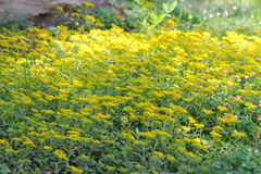 Bei fiori gialli Immagini Stock Libere da Diritti