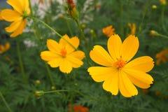 Bei fiori gialli Fotografie Stock