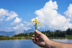 Bei fiori gialli alpini in una mano dell'uomo Fotografia Stock Libera da Diritti