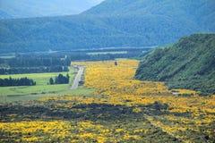 Bei fiori gialli che fioriscono nel parco nazionale d'aspirazione del supporto, alpi del sud, Nuova Zelanda Fotografia Stock Libera da Diritti