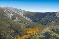 Bei fiori gialli che fioriscono nel parco nazionale d'aspirazione del supporto, alpi del sud, Nuova Zelanda Immagine Stock Libera da Diritti