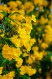 bei fiori gialli del Morbido fuoco immagini stock libere da diritti