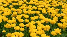 Bei fiori gialli del tulipano nel giardino di primavera fotografia stock