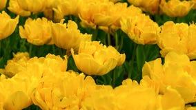 Bei fiori gialli del tulipano nel giardino di primavera fotografia stock libera da diritti