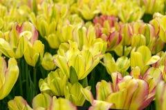 Bei fiori gialli e rosa del tulipano nel giardino di primavera immagine stock libera da diritti