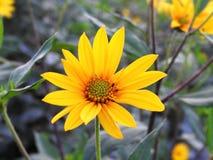 Bei fiori gialli in giardino, Lituania Fotografia Stock