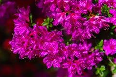Bei fiori indiani variopinti di rhododendron simsii delle azalee della piena fioritura immagine stock