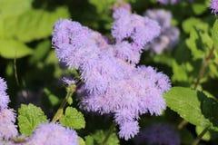 Bei fiori lanuginosi lilla Fotografie Stock Libere da Diritti