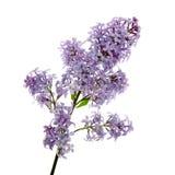 Bei fiori lilla Immagine Stock