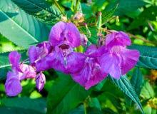 Bei fiori lilla del balsamo della foresta verso la metà di estate fotografia stock libera da diritti