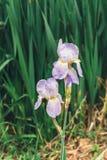 Bei fiori lilla dell'iride fotografia stock