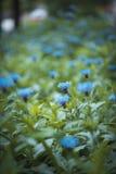 Bei fiori luminosi dei fiordalisi in erba verde Immagine Stock Libera da Diritti