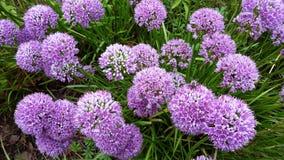 Bei fiori, millennio dell'allium Fotografia Stock