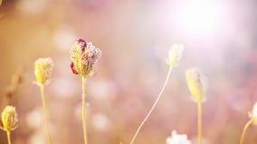 Bei fiori nel campo sul fondo di tramonto Sera luminosa all'aperto soleggiata video d archivio