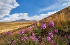 Bei fiori nel campo Tramonto nella steppa, un bello cielo con le nuvole, Platone Ukok, nessuno di sera intorno, Altai fotografia stock libera da diritti