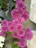 Bei fiori nel mio giardino what& x27; s è il tha colore? Il suo rosa di bambino? fotografia stock libera da diritti