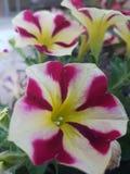 Bei fiori nella stagione estiva a casa, in giardini ed in parchi fotografie stock