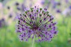 Bei fiori porpora del aflatunense dell'allium un giorno soleggiato luminoso nel giardino organico Erbe fresche della cucina Alime Fotografie Stock