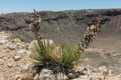 Bei fiori porpora dell'yucca che fioriscono vicino alla cresta del Meteor Crater nell'alto deserto dell'Arizona del Nord fotografie stock