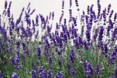 Bei fiori porpora della lavanda nel giardino Fotografia Stock