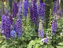 Bei fiori porpora di speronella Immagine Stock Libera da Diritti