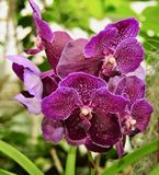 Bei fiori porpora di Vanda Orchid Fotografia Stock Libera da Diritti