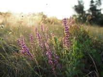 Bei fiori porpora su un prato di estate al tramonto fotografie stock libere da diritti
