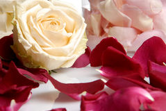 Bei fiori romantici delle rose rosa e bianche Fotografia Stock