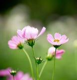Bei fiori rosa Fotografia Stock