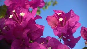 Bei fiori rosa aromatici con gli stami bianchi stock footage