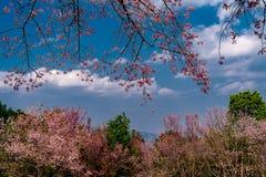 Bei fiori rosa del fiore di ciliegia nel parco con la nuvola ed il cielo blu bianchi nell'inverno della Tailandia immagine stock libera da diritti