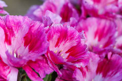 Bei fiori rosa del fuoco molle Fotografia Stock