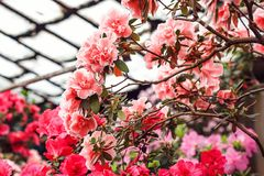 Bei fiori rosa dell'albero del rododendro Azalea in natura Fiore rosa della rosa del deserto del primo piano Fotografia Stock Libera da Diritti