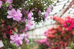 Bei fiori rosa dell'albero del rododendro Azalea in natura Fiore rosa della rosa del deserto del primo piano Immagini Stock Libere da Diritti