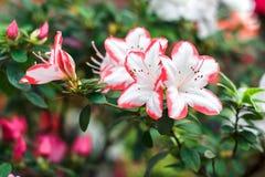 Bei fiori rosa dell'albero del rododendro Azalea in natura Fiore rosa della rosa del deserto del primo piano Fotografie Stock Libere da Diritti