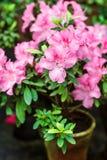 Bei fiori rosa dell'albero del rododendro Azalea in natura Fiore rosa della rosa del deserto del primo piano Immagine Stock
