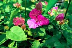 Bei fiori rosa della buganvillea fotografia stock libera da diritti