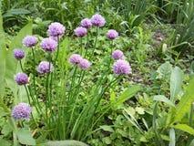 Bei fiori rosa della cipolla del giardino Fotografia Stock Libera da Diritti