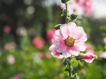 Bei fiori rosa della malvarosa al tramonto Immagini Stock