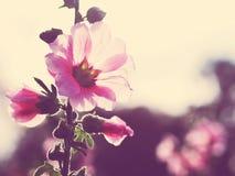 Bei fiori rosa della malvarosa al tramonto Fotografia Stock Libera da Diritti