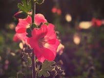 Bei fiori rosa della malvarosa al tramonto Fotografia Stock
